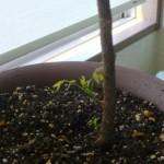 ニーム(インド栴檀)の木は信州で8年