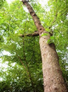 secang tree