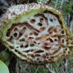 パプア島の「蟻の巣」(Sarang Semut): 乳がん, 子宮頸部がんに朗報