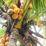 Vcoconut
