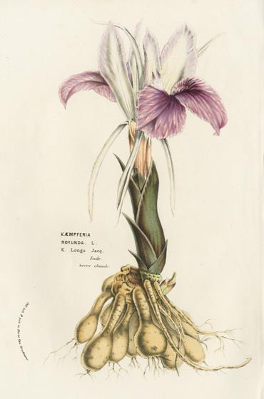 バンガジュツ根茎