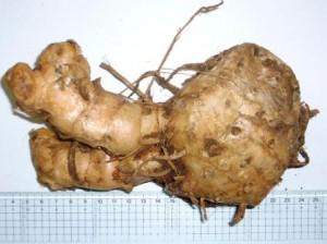 C. xanthorrhiza