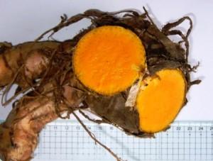 C.xanthorrhiza