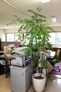 松本のニームの木