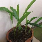 ケンペフェリア・ロツンダ(バンガジュツ)の芽が出てきました
