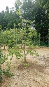 モンパ菌病の木