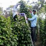 南国の香辛料ヒハツ、Long Pepper