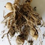 M&Kバンガジュツ根茎2