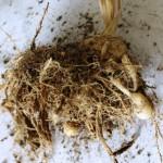 熱帯植物バンガジュツ:育てて下さい