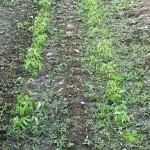 緑豆 信州100%発芽