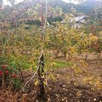 ニームケーキによるりんごの白モンパ病防除・予防実証試験(4)
