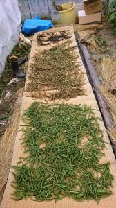 緑豆 収穫 黒褐緑