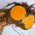 C.xanthorrhiza-300x227 (1)